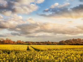 Rapeseed in Norfolk field